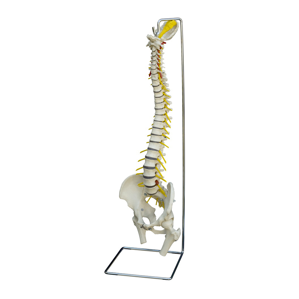 Flexible Spines & Functional Joints