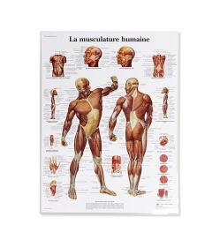 Musculature Humaine Chart (French)